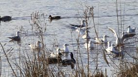Ducks and gulls swimming in water at shore in winter stock video