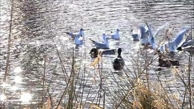 Ducks and gulls swimming in water stock footage