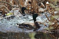 Ducks Royalty Free Stock Photography