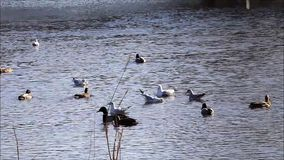 Ducks and gulls in water stock video footage