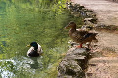 Ducks hang out Stock Photography