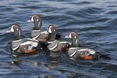 ducks harlequin Стоковое Изображение RF