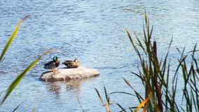 Relaxing ducks. royalty free stock photos