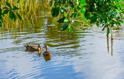 Ducks Having Breakfast. Two female mallard ducks eating pond grasses in a Florida pond with tree branches in the foreground Stock Images