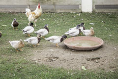 Ducks and hens. Ducks and chickens in rural farm animals Stock Image