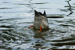 Ducks with his head under the water. Of a lake Stock Photography