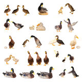 Ducks histories Royalty Free Stock Photography