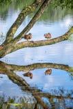 Ducks in Holguin pond in Peterhof. St Petersburg Stock Image