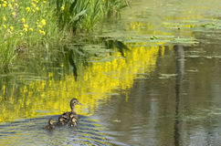 Ducks from Holland. Early spring in Holland. Young ducks just hatched from the egg with mother swimming together in pond Stock Image