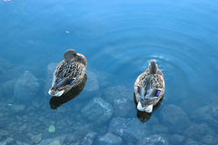 Ducks hunt for fish between lily Stock Image