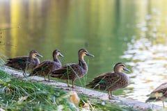 Ducks at Hyde Park Perth Australia royalty free stock photos