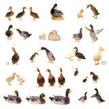 Ducks i dati storici Fotografia Stock Libera da Diritti