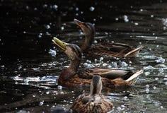 ducks i platyrhynchos di anas, che stanno andando alimentare il pane che galleggia nel parco bianco di Gatcina del lago fotografie stock libere da diritti