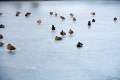 Ducks on ice Stock Image