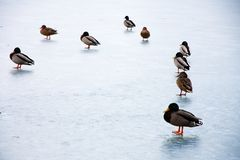 Ducks on ice Stock Images