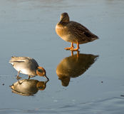 Ducks on the ice. Two different ducks on the ice Royalty Free Stock Photos