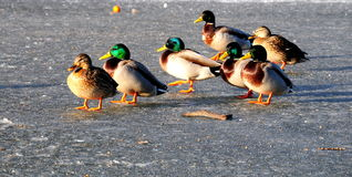 Ducks on ice. Shot of some ducks walking across the ice Royalty Free Stock Photography