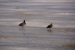 Ducks on an ice-cold lake - Landscape wintry. Two ducks which walk work on an ice-cold lake. Outdoor shooting, without character. Pond of the mute, city of Royalty Free Stock Photo