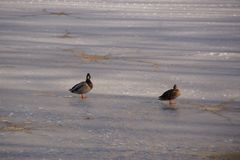 Ducks on an ice-cold lake. Two ducks which walk work on an ice-cold lake. Outdoor shooting, without character. Pond of the mute, city of Elancourt in France Stock Image