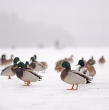 Ducks on ice and fishermen Stock Photos