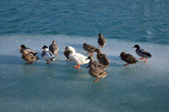 Ducks on ice Royalty Free Stock Images