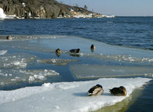Ducks on an ice floe. Winter. Ducks on an ice floe royalty free stock photography