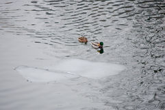 Ducks and an ice floe Royalty Free Stock Images