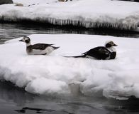 Ducks on the ice floe. Two ducks on the ice floe in winter sea Stock Image