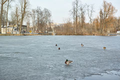 Ducks on the ice. In the  Gorky Park Stock Images