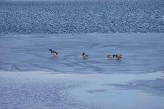 Ducks on the ice. Ducks on a half icebound pond Stock Photo
