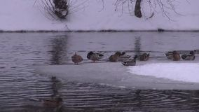 Ducks on the ice and ice-free pond stock video