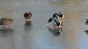Ducks ice-skating stock footage