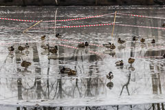 Ducks on ice Stock Photography