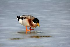 Ducks on ice Stock Photo