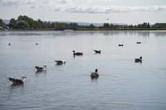 Ducks in Icelandic Lake stock image