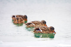 Ducks in icy pond Stock Photos