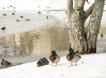 Ducks by Icy Pond. In winter time royalty free stock photos