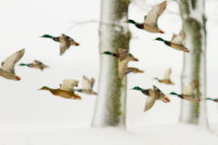 Ducks In Blizzard Royalty Free Stock Images