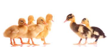 Ducks isolated Royalty Free Stock Images