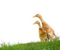 Ducks isolated Stock Photo