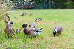 Ducks in the Israeli Galilee Stock Image