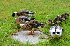 Ducks in the Israeli Galilee Stock Photos