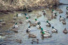 Ducks jam in the lake Royalty Free Stock Photo