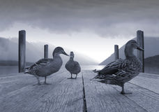 Ducks on a jetty Royalty Free Stock Image