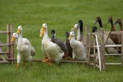 Ducks junping the fence. Ducks jumping over a wooden fence royalty free stock image