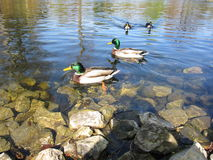 Ducks at Kews garden with iridescent feather. In clear clean water in the lake, ducks enjoy swimming with their companions on a sunny day Stock Photos