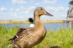 Ducks in Kinderdijk, Holland. Ducks on a channel and historical windmills in Kinderdijk, Holland stock images