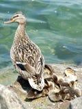 Ducks a la familia imágenes de archivo libres de regalías