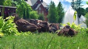 Ducks a la familia en hierba en el parque de naturaleza Pato salvaje que se sienta en hierba verde almacen de metraje de vídeo