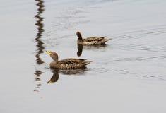 Ducks la laguna los Andes imagen de archivo